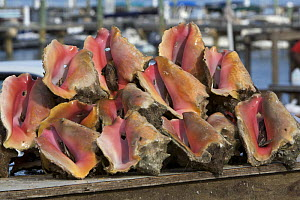 Queen conch (Strombus gigas) shells piled up for sale at Montague ramp, Nassau, Bahamas.  -  Tim Laman