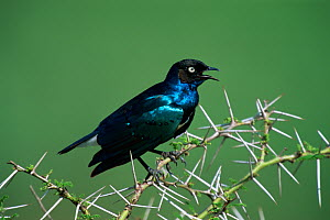 Superb starling (Lamprotornis superbus) perched in Acacia tree, calling, Africa. - Hermann Brehm