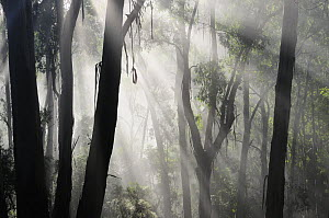 Morning fog in eucalypt forest, Great Otway National Park, Victoria, Australia. - Jouan & Rius
