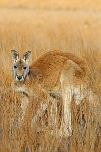 Red kangaroo (Macropus rufus) male, Flinders Ranges National Park, South Australia, Australia - Jouan & Rius
