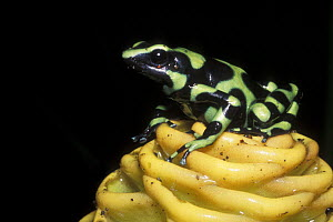 Green and black poison dart frog (Dendrobates auratus) on Ginger flower, rainforest habitat, Costa Rica  -  Jouan & Rius