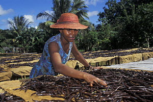 Woman spreads Vanilla beans for drying in the sun, Maroantsetra, North East Madagascar - Jouan & Rius
