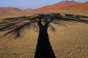 Shadow of a Camelthorn tree (Acacia erioloba) in Tsauchab valley, Namib Naukluft NP, Namib desert, Namibia  -  Jouan & Rius