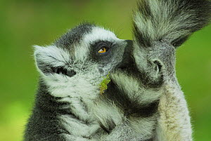Ring-tailed lemur (Lemur catta) grooming tail, dry forest of Berenty reserve, Madagascar  -  Jouan & Rius