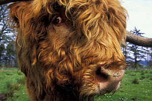 Highland cow (Bos taurus) close up of head, Scotland, UK  -  Jouan & Rius