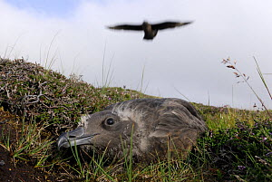 Great Skua (Stercorarius / Catharacta skua) adult attacking to protect his chick, Shetland Islands, Scotland, UK - Jouan & Rius