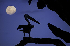 Silhouette of Australian pelican (Pelecanus conspicillatus) at night with almost full moon, Murray River, South Australia, Australia  -  Jouan & Rius