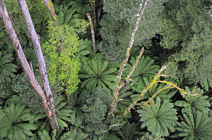 Looking down from tree canopy to tree ferns of Mountain forest below, Great Otway National Park, Victoria, Australia  -  Jouan & Rius
