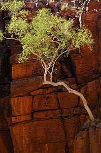 Ghost Gum tree (Eucalyptus / Corymbia papuana) growing in red quartzite cliff, Ormiston Gorge, West MacDonnell National Park, Northern Territory, Australia - Jouan & Rius
