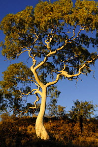 Ghost Gum tree (Eucalyptus / Corymbia papuana)East MacDonnell National Park, Northern Territory, Australia - Jouan & Rius