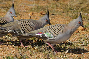 Three Crested pigeons (Ocyphaps lophotes) Central Australia  -  Jouan & Rius