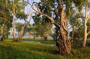 Paperbark gum trees (Melaleuca sp) growing along Yellow Water, South Alligator River floodplain, Kakadu National Park, Northern Territory, Australia - Jouan & Rius