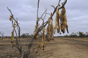 Dead foxes killed as part of fox eradication scheme in New South Wales, Australia  -  Jouan & Rius