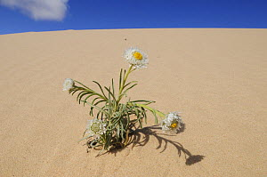 Poached egg daisy (Polycalymma stuartii) plant flowering on sand dune, Mungo National Park, New South Wales, Australia  -  Jouan & Rius