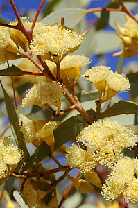 Red Mallee flowers (Eucalyptus eucentrica), Northern Territory, Australia - Jouan & Rius