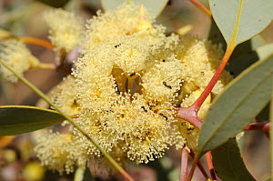 Red Mallee flowers (Eucalyptus eucentrica) Northern Territory, Australia - Jouan & Rius