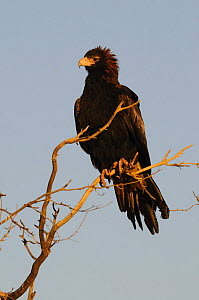 Wedge-tailed eagle (Aquila audax) perched, Northern Territory, Australia - Jouan & Rius