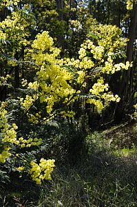 Wattles (Acacia sp) blooming in spring, Great Otway National Park, Victoria, Australia - Jouan & Rius