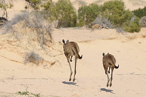 Western Grey Kangaroos (Macropus Fuliginosus) pair hopping away across sand dunes, Mungo National Park, New South Wales, Australia  -  Jouan & Rius