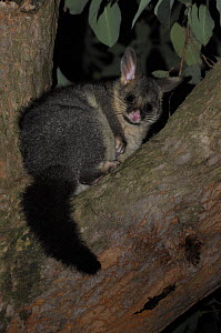 Common / Silver-gray brushtail possum (Trichosorus vulpecula) in tree, Yarra Ranges, Victoria, Australia - Jouan & Rius