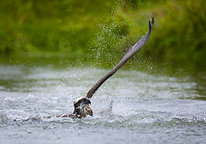 Osprey {Pandion haliaetus} coming up out of water after catching fish, Finland - Juan Carlos Munoz