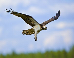Osprey (Pandion haliaetus) adult flying, about to land at nest, Finland - Juan Carlos Munoz