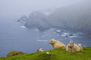 Shetland sheep resting on grass on cliff tops,  Hermaness Nature Reserve, Unst Island, Shetland Islands, Scotland, UK  -  Juan Carlos Munoz
