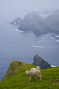 Shetland sheep lambs on coastal land,  Hermaness Nature Reserve, Unst Island, Shetland Islands, Scotland, UK  -  Juan Carlos Munoz