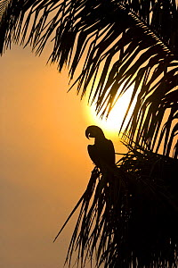 Hyacinth macaw (Anodorhynchus hyacinthinus) perched in palm tree, silhouetted at sunset, Pantanal NP, Mato Grosso, Brazil, sequence 1/3. Endangered - Juan Carlos Munoz
