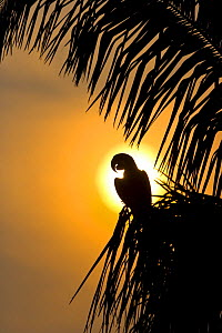 Hyacinth macaw (Anodorhynchus hyacinthinus) perched in palm tree, silhouetted at sunset, Pantanal NP, Mato Grosso, Brazil, sequence 2/3. Endangered - Juan Carlos Munoz