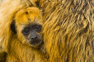 Black howler monkey (Alouatta caraya) baby being carried by mother, Pantanal NP, Mato Grosso, Brazil - Juan Carlos Munoz