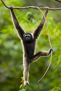 Grey gibbon (Hylobates muelleri) swinging from branch in rainforest and using foot to grip plant vine, Mount Kinabalu NP, Sabah, Borneo, Malaysia - Juan Carlos Munoz