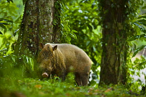 Bearded pig (Sus barbatus) in rainforest habitat, Danum valley forest reserve, Sabah, Borneo, Malaysia - Juan Carlos Munoz