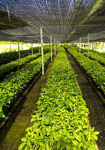 Seedling rainforest trees growing under awnings in nursery, part of the Sustainable Forest Project, Danum valley forest reserve, Sabah, Borneo, Malaysia  -  Juan Carlos Munoz
