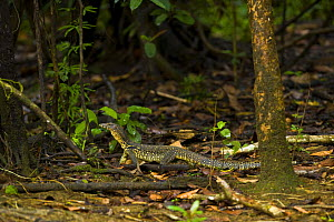 Asian water monitor lizard (Varanus salvator) on forest floor, Rio Sungai Kinabatangan, Sabah, Borneo, Malaysia - Juan Carlos Munoz