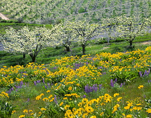 Field of Arrowleaf balsamroot and lupine on a hillside overlooking an orchard near Dryden, Washington, USA  -  Kirkendall-Spring