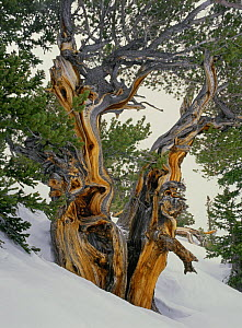 Bristlecone pine near Wheeler Peak in Great Basin National Park in winter, Nevada, USA  -  Kirkendall-Spring