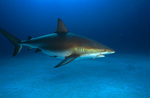 Caribbean reef shark {Carcharhinus perez} with fishing hook embedded in jaw and wire trace attached. Bahamas  -  Michael Pitts