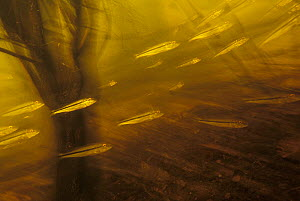 Three-barred / speckled peacock bass (Cichla temensis) entering flooded forest to spawn. Tributary Rio Tabajos, Para, Brazil.  -  Michel Roggo