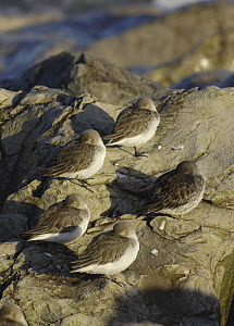 Dunlin (Calidris alpina) roosting on rocks at high tide, Rhos Point, Colwyn Bay, North Wales, UK - Mike Potts