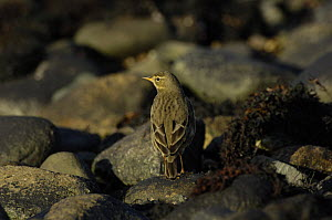 Water pipit (Anthus spinoletta) searching for insects on a rocky shoreline, Menai Straits, Gwynedd, North Wales, UK  -  Mike Potts