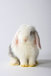 Young Satin Lop-eared Dwarf Rabbit, white with rhon, 12 weeks  -  Petra Wegner