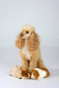Miniature Poodle, apricot-white, with two Guinea Pigs - Petra Wegner