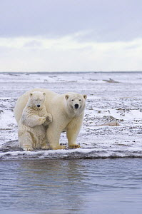 Polar bear (Ursus maritimus) female and cub along a barrier island in early autumn, off Barter Island and the Arctic National Wildlife Refuge, Alaska - Steven Kazlowski