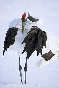 Japanese / Red-crowned crane (Grus japonensis) preening in snow, Tsurui-Ito Tancho Sanctuary, Hokkaido, Japan - Kerstin Hinze