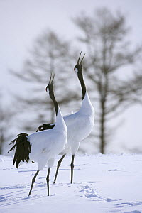 Japanese / Red-crowned crane (Grus japonensis), pair displaying, calling, in snow, Tsurui-Ito Tancho Sanctuary, Hokkaido, Japan - Kerstin Hinze
