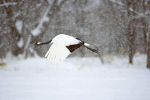 Japanese / Red-crowned crane (Grus japonensis)flying through snow, Tsurui, Kushiro-Shitsugen National Park, Hokkaido, Japan - Kerstin Hinze