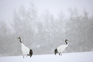 Japanese / Red-crowned crane (Grus japonensis)pair in snow-covered landscape, snowing, Tsurui, Kushiro-Shitsugen National Park, Hokkaido, Japan - Kerstin Hinze