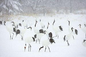 Japanese / Red-crowned crane (Grus japonensis)flock feeding and displaying in snow, Tsurui, Kushiro-Shitsugen National Park, Hokkaido, Japan - Kerstin Hinze