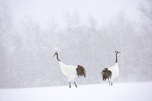 Japanese / Red-crowned crane (Grus japonensis) two cranes in a snow-covered landscape, Tsurui, Kushiro-Shitsugen National Park, Hokkaido, Japan - Kerstin Hinze